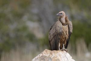 abutre de pé sobre uma rocha. foto