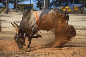 vaca touro