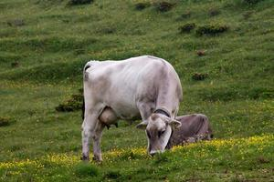 pastagem de vaca