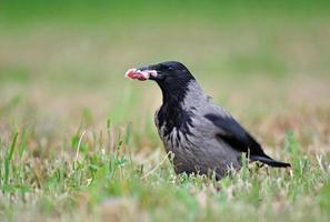 corvo com capuz foto