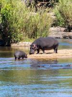 hipopótamo com bebê foto