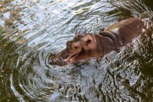 hipopótamo nadando na água foto