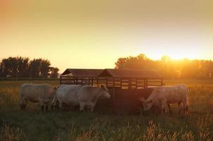 vacas no pasto foto