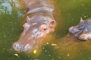 hipopótamo na água foto