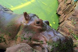 retrato de hipopótamo na natureza foto