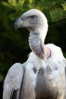 retrato de pássaro urubu griffon foto