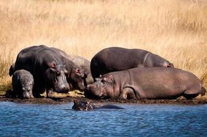 grupo de hipopótamo na praia foto
