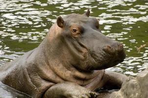 bebê hipopótamo foto