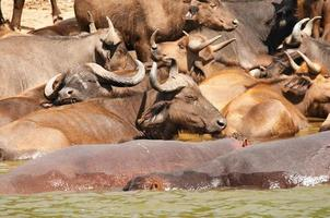 búfalos e hipopótamos foto
