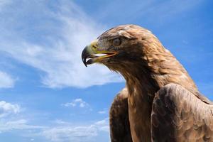 retrato de close-up da grande águia dourada sobre o céu azul profundo foto