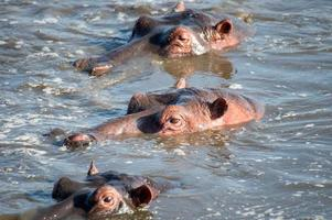 anfíbio do hipopótamo (hipopótamo)