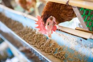 fazenda de galinhas de ovos foto