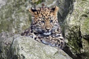 filhote de leopardo amur foto