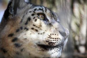 retrato leopardo da neve foto
