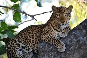 olhando o leopardo na árvore foto