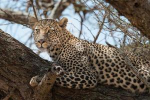 leopardo relaxante na árvore foto