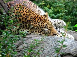 leopardo adormecido foto