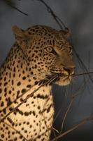 leopardo à noite foto