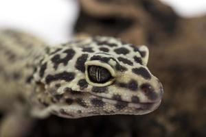 lagartixa leopardo foto
