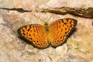 pequena borboleta leopardo foto