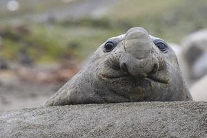 elefante foca de perto foto