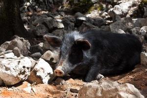 sardisches hausschwein foto