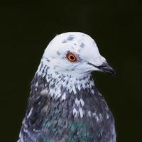detalhe de um close de cabeça de pombo foto