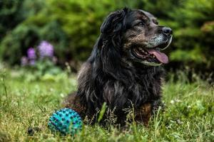 grande cão preto repousa ao ar livre. sentinela de segurança caucasiano cão pastor. foto