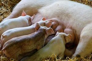 porcos pequenos foto