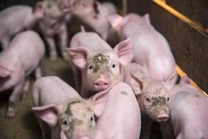 pequenos porcos foto
