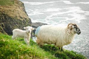 mãe e bebê ovelhas em um penhasco - dingle, irlanda