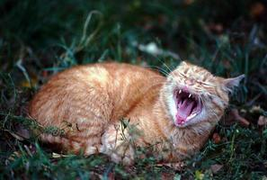 gato vermelho foto