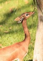 gerenuk do sul, litocranius walleri foto