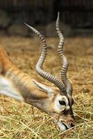 antílope africano em um zoológico foto