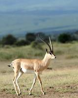 gazela de thomson foto