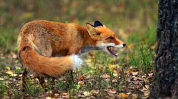 raposa vermelha (vulpes) foto