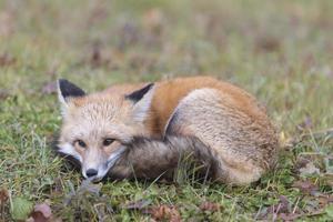 descansando raposa vermelha foto