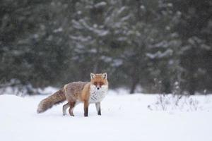 raposa vermelha na neve do inverno foto