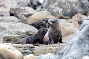 mãe de foca e seu bebê foto