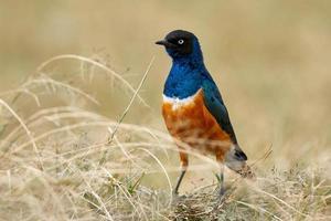 soberbo pássaro estorninho, africano e colorido foto