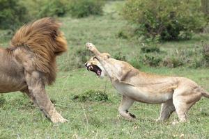 leões lutando foto