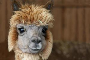 close-up de uma bela jovem alpaca.