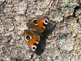 borboleta pavão