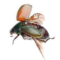 besouro de escaravelho de insetos voadores foto