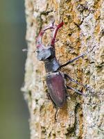 besouro de veado (lucanus cervus) foto