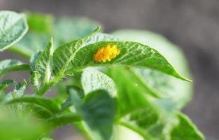 besouro do colorado foto
