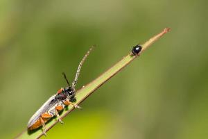 coleoptera cerambycidae insetos foto