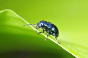 o besouro chrysolina fastuosa foto