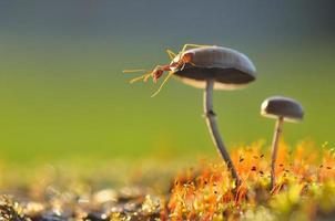 formiga tecelã em um cogumelo foto