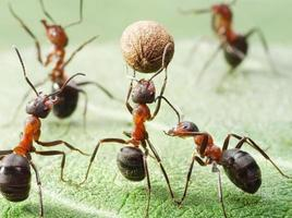formigas jogam futebol foto